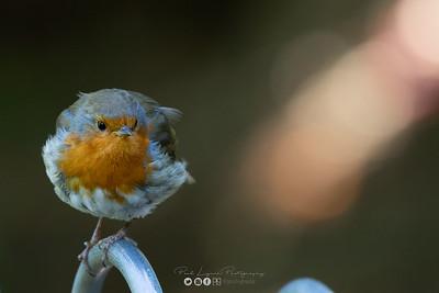2 - Robin