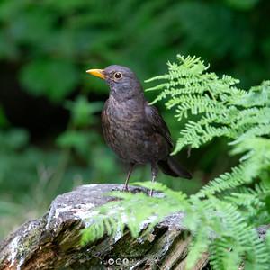 4 - Blackbird