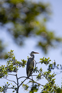 10 - Grey Heron