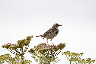 11 - Meadow Pipit