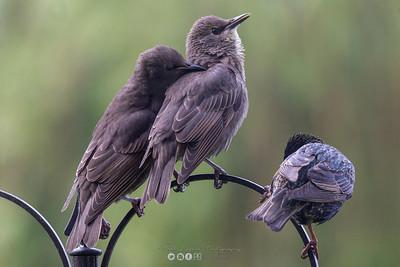 1 Starling