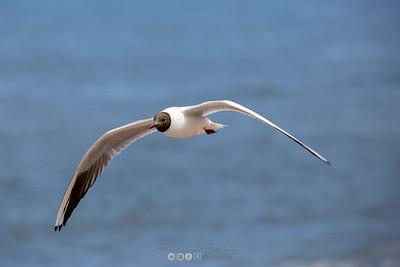 12 - Black Headed Gull