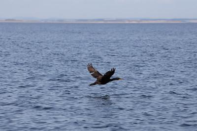16 - Shag (Green Cormorant)