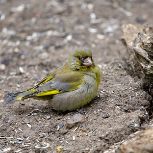 5 - Green Finch