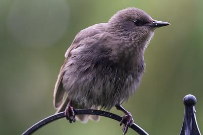 1 - Starling