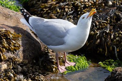 13 - Herring Gull