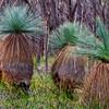 Grass Tree Family