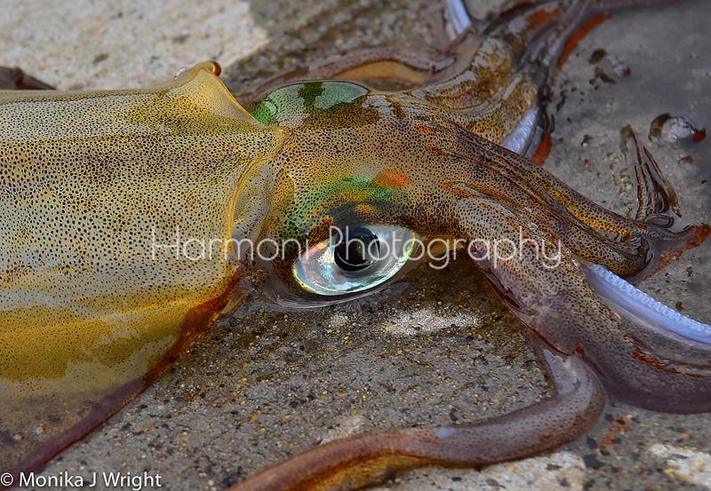 Harmoni-photography-Busselton-squid