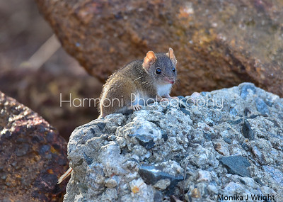 A Mardo, or Yellow Footed Antechinus