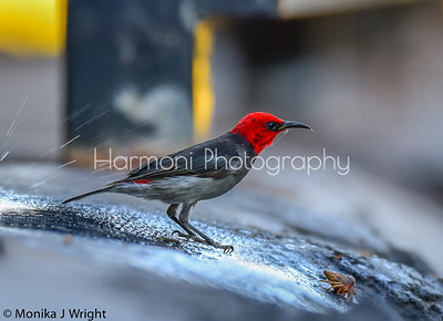 Backstreets of Broome.  Lone Red headed honeyeater and crab