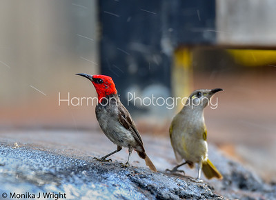 Red Headed Honeyeater, Broome