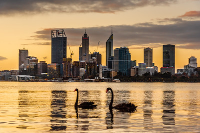 Black Swans and Perth City Center at sunset.