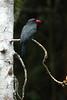 BlFrontedNunbird