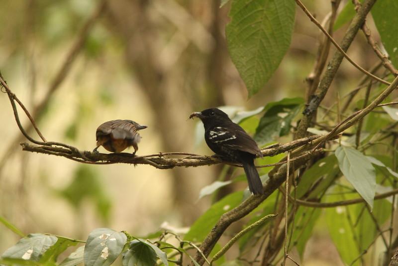 variable antshrikes male and female