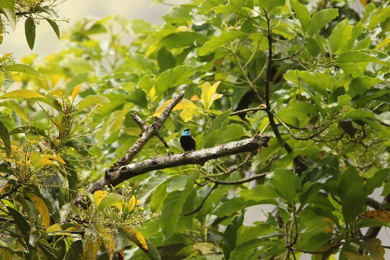 blue-neckt tanager