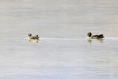 yellow billed pintails
