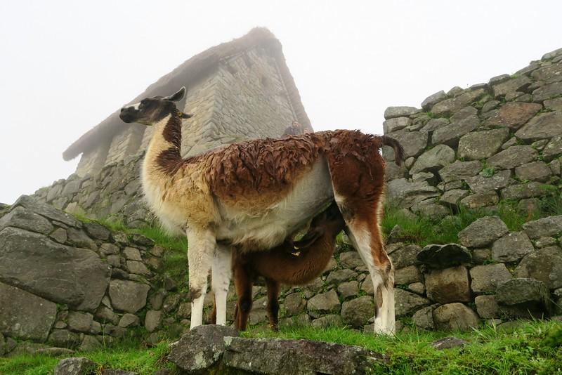 Alpacas in Machu Picchu.