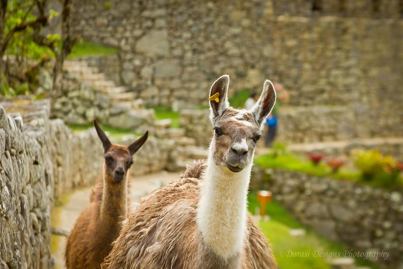 Alpaca pair in Machu Picchu