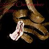 Corallus hortulanus 2d