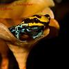 Dendrobates ventrimaculatus b