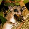 Mouse oppossum b