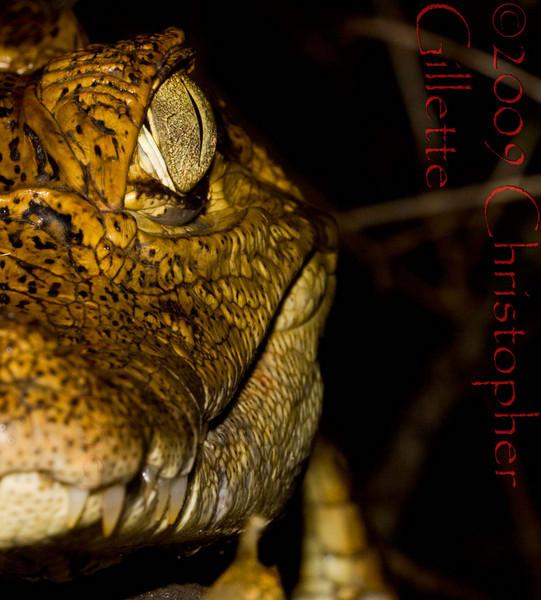 Caiman crocodilus d