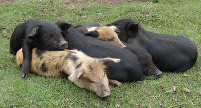 Pile o pigs.  Pigs on the wing?