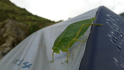 A massive creature on our tent when we camped in La Playa.