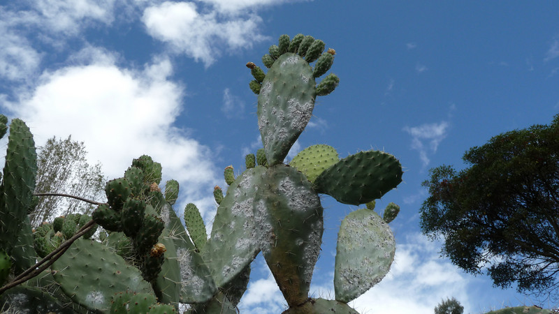 We started our trek to Machu Picchu in the town of Mollepata.   9,300 ft elevation, and plenty of cacti along the trail.
