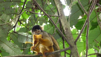 Capuchin monkeys on Monkey island.  The Alpha male was named Recita, and could stare you down.