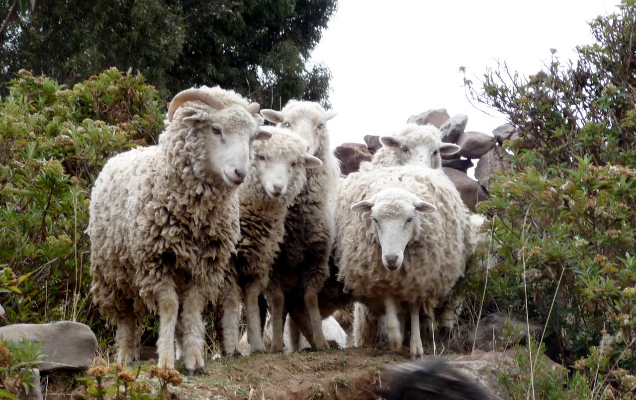 I'm not sheepish.  Who you calling sheepish?