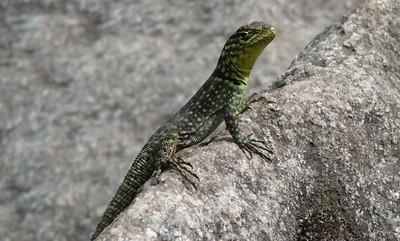 Hello lizard.  Mountain lizards were everywhere up top.