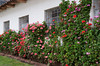 Geranium flowers in the Urubamba Valley village of Andahuaylillas, Peru.
