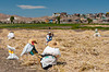 Agricultural workers in the fields near Arequipa, Peru.