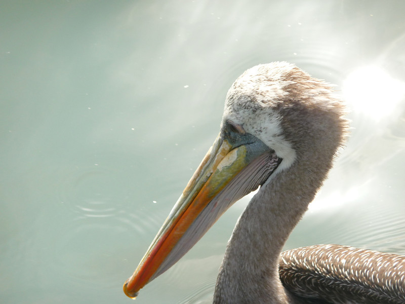 """A pelican floating and dipping its beak in the water - Islas Ballestas, Peru.  This is a travel photo from Islas Ballestas, Peru. <a href=""""http://nomadicsamuel.com"""">http://nomadicsamuel.com</a>"""