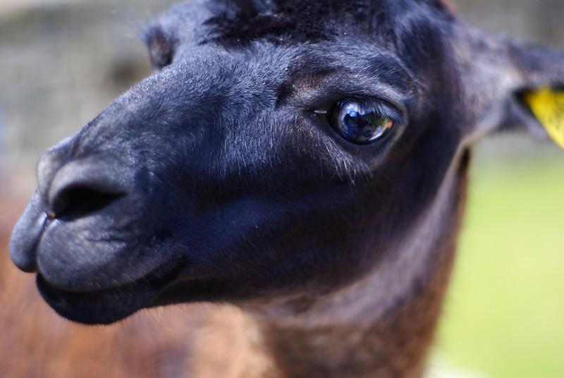 "A close-up portrait of a llama at Machu Picchu using a 50mm lens shot wide-open at an aperture of 1.7. <a href=""http://nomadicsamuel.com"">http://nomadicsamuel.com</a>"