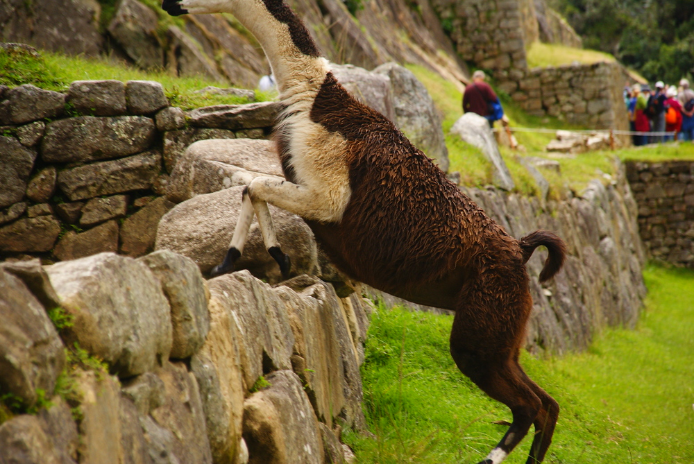 Today's daily travel photo is of a llama leaping over a rock formation found at Machu Picchu, Peru not far from a tourist cluster.