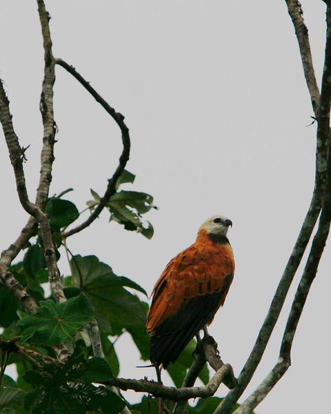 Black shouldered Hawk