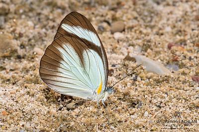 Butterfly in the Cordillera Escalera, Peru (Pieridae family)