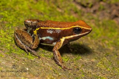 Cainarachi Poison Frog (Ameerega cainarachi) in the Cordillera Escalera, Peru