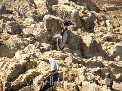 Humboldt Penguin, Islas Ballestas