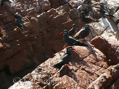 Inca Terns, Islas Ballestas
