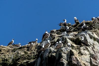 Boobies on top of the Isla Ballestas of the Coast of Peru