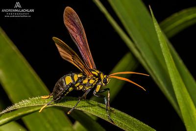 Wasp in the Cordillera Escalera, Peru