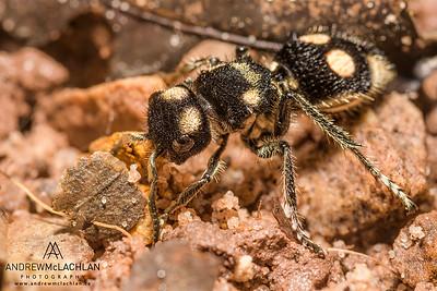 Velvet Ant (female) in the Cordillera Escalera, Peru