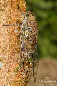 Cicada in the Cordillera Escalera, Peru