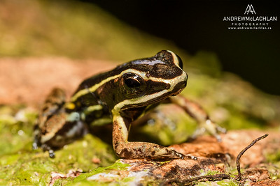 Spotted-thighed Poison Frog (Allobates femoralis) in the Cordillera Escalera, Peru