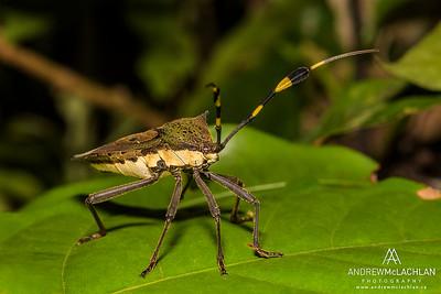 Assassin Bug in the Cordillera Escalera, Peru