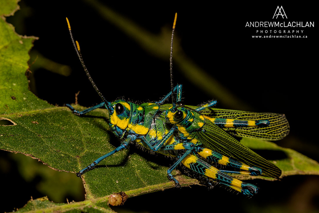 Painted Grasshopper (Chromacris sp.) in the foothills of the Andes Mountains in Amazonian Rainforest in the Cordillera Escalera near Tarapoto, Peru