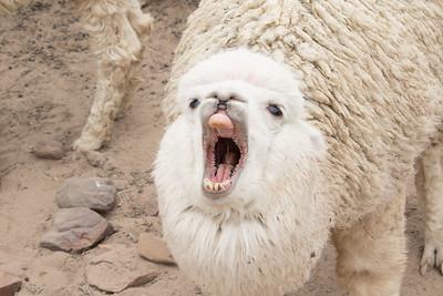 A yarning llama